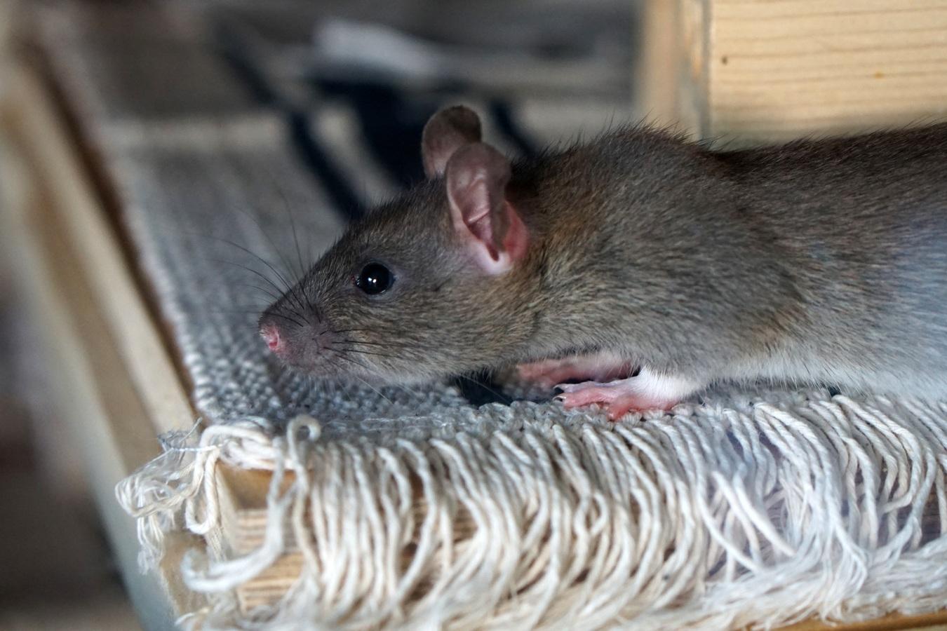 prolif ration des rats les diff rentes solutions possibles. Black Bedroom Furniture Sets. Home Design Ideas
