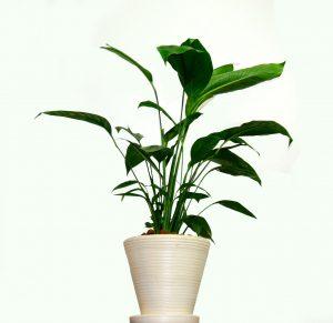 Plante dépolluante en pot